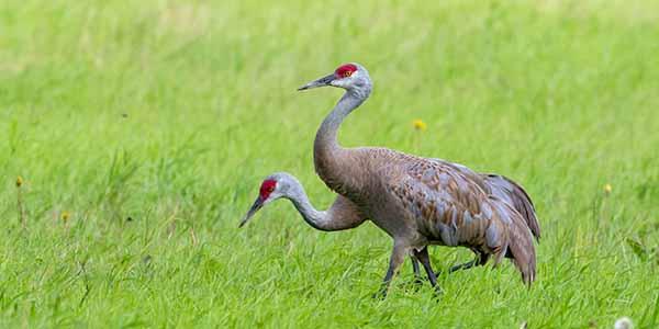 Lesser Sandhill Crane Pair