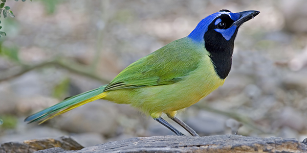 Beautiful Green Jay, Cyanocorax yncas