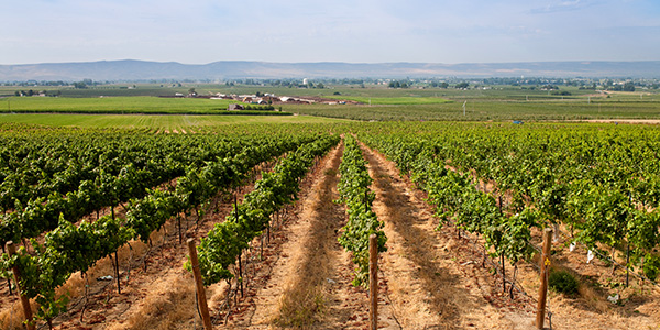 A striking view of a vineyard in Yakima Valley, Washington on an amazing summer day.