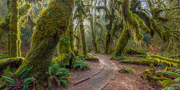 A path in the fairy green forest. The forest along the trail is filled with old temperate trees covered in green and brown mosses.