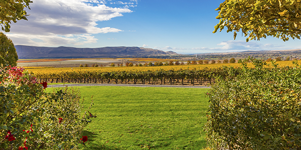 Yellow Vines Grapes Fall Vineyards Red Mountain Benton City Washington