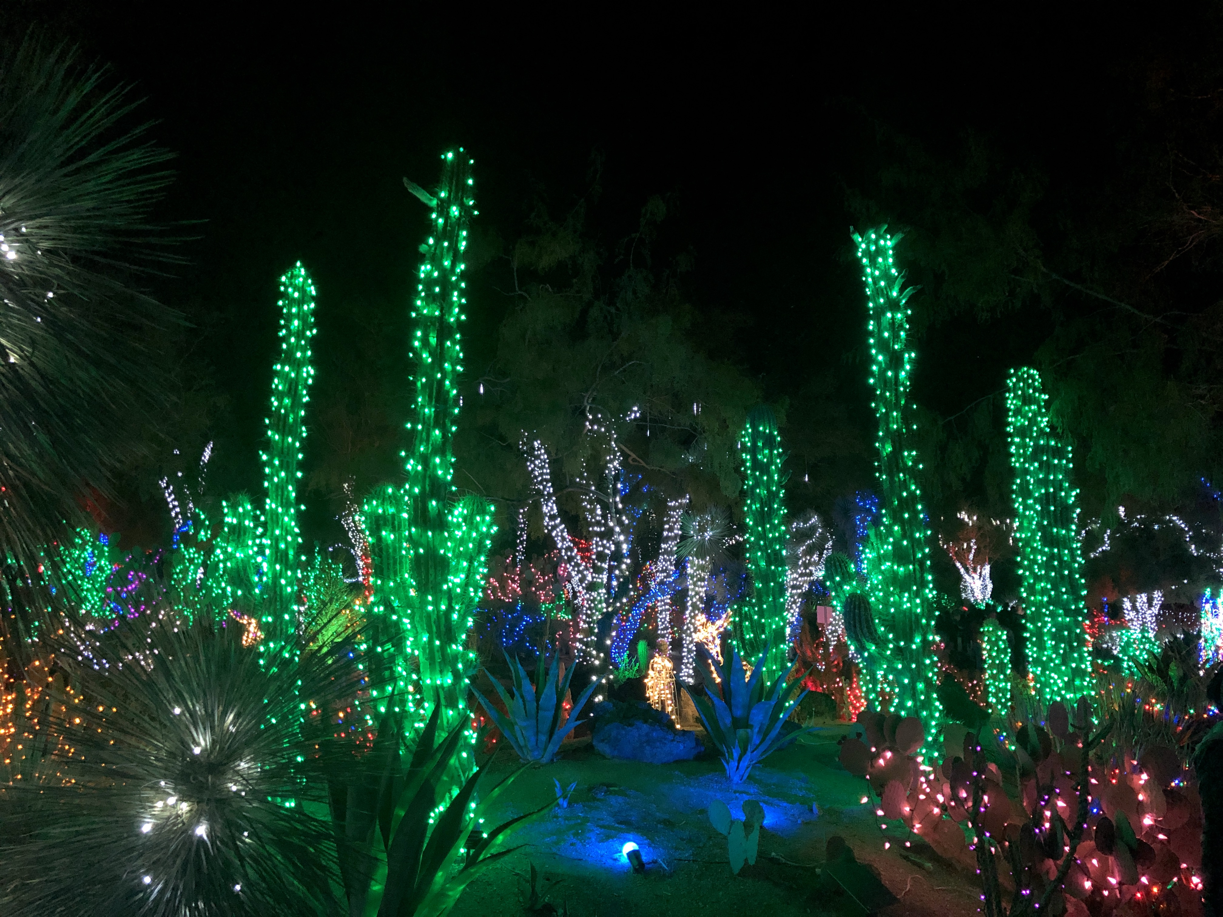 Tall cacti bedecked with Christmas lights.