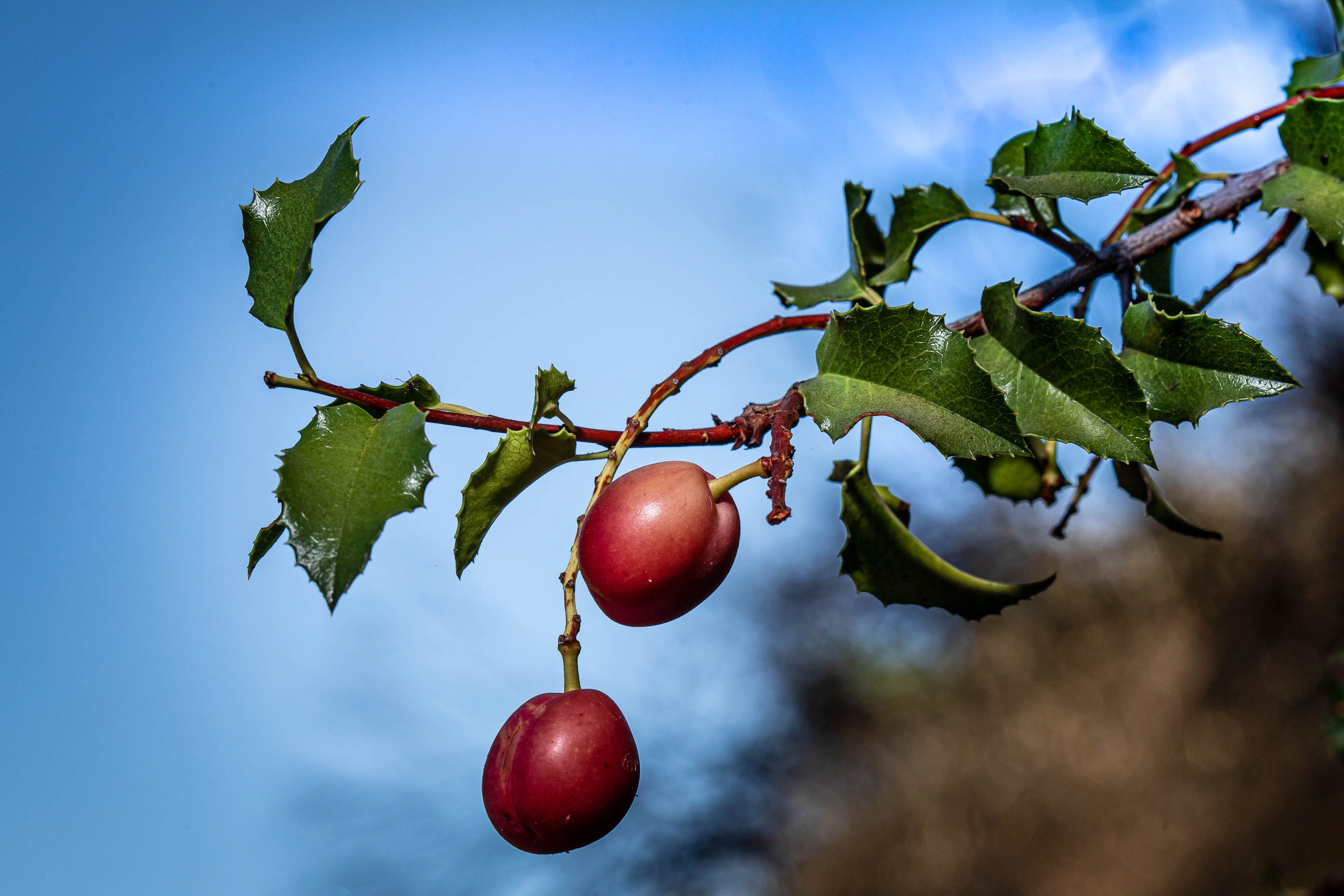 Apple-type fruit in the mountains