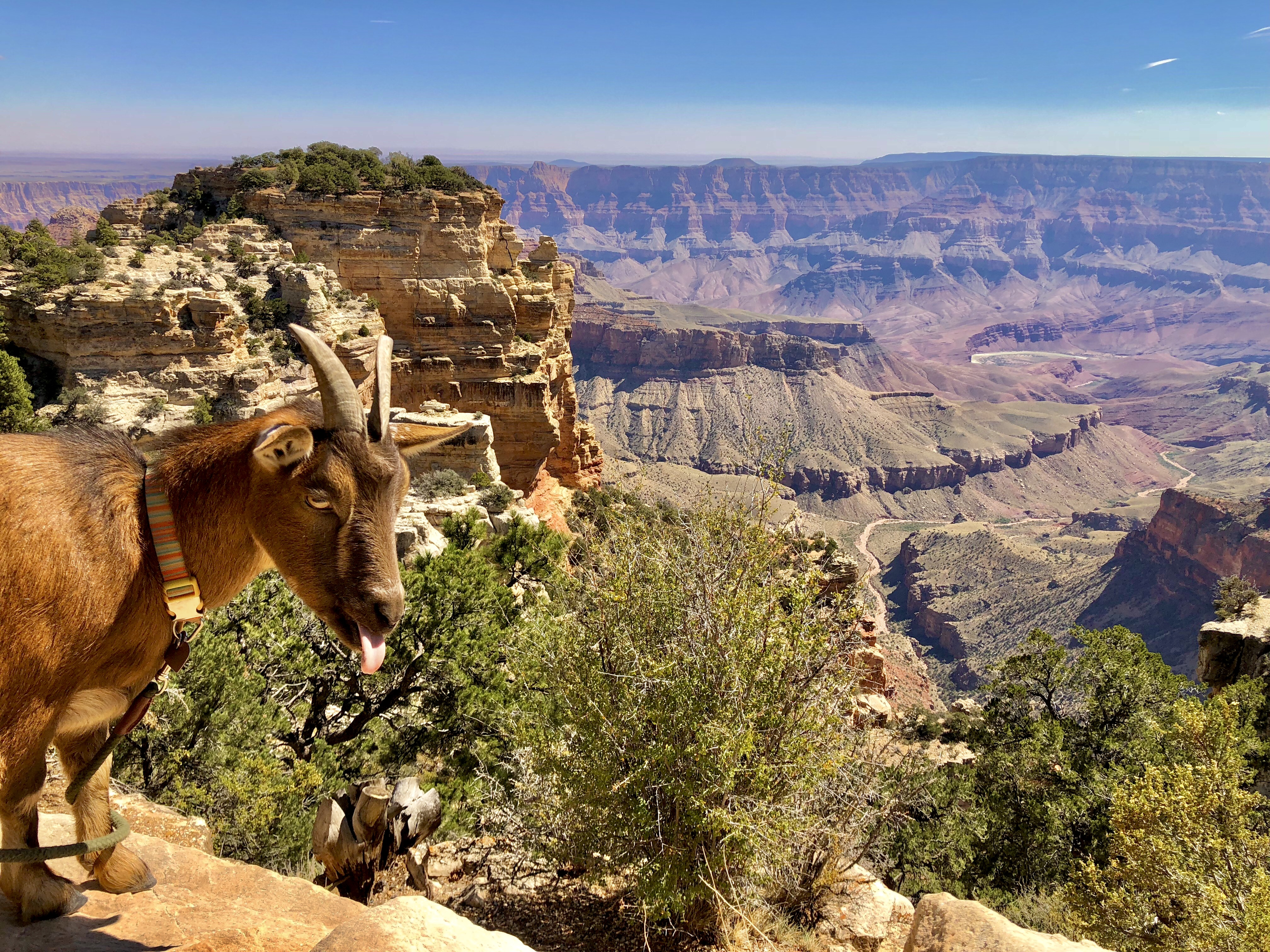 Goat with tongue protruding on cliff overlooking a mesa.
