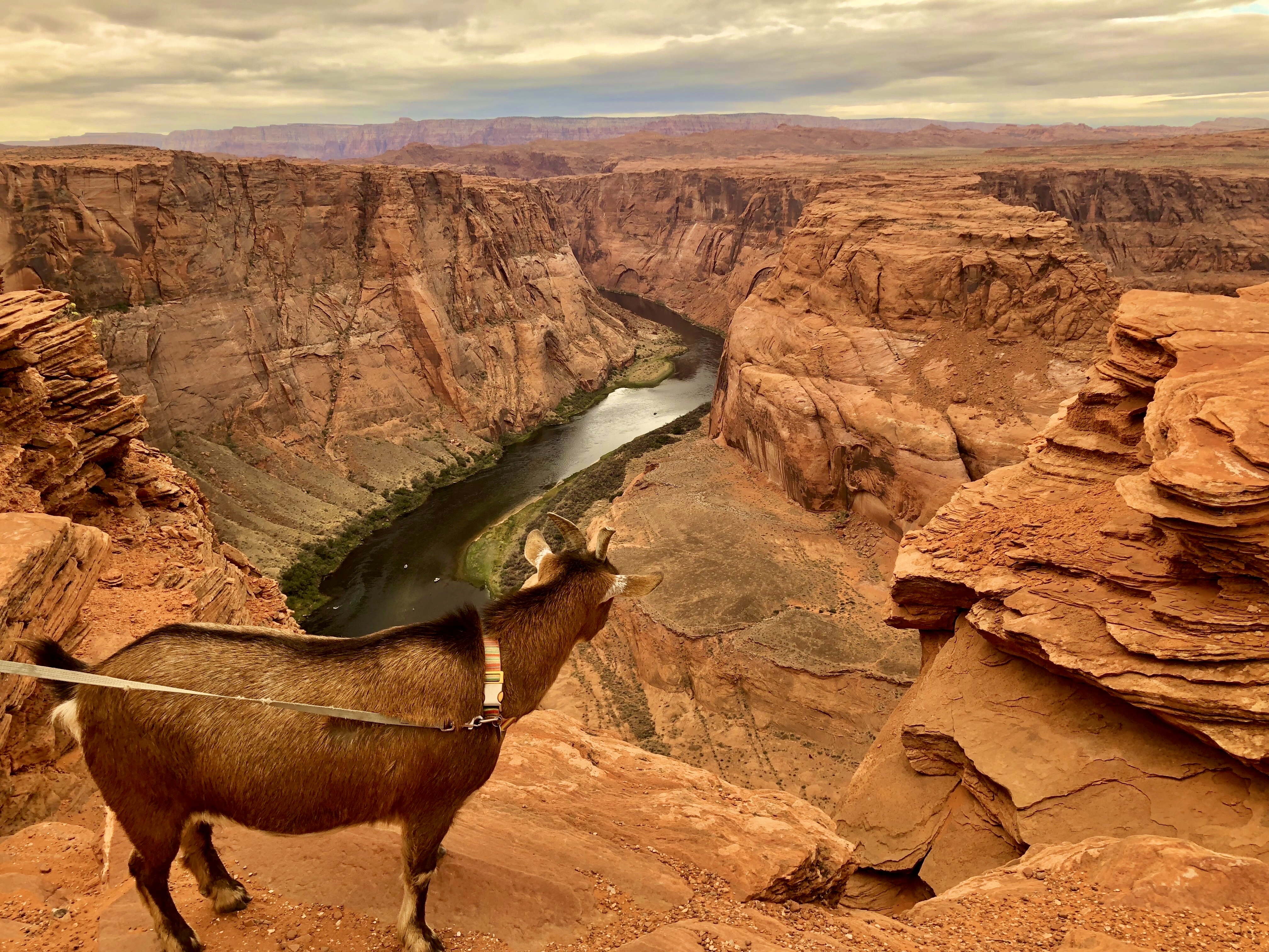 A goat overlooking the Colorado River