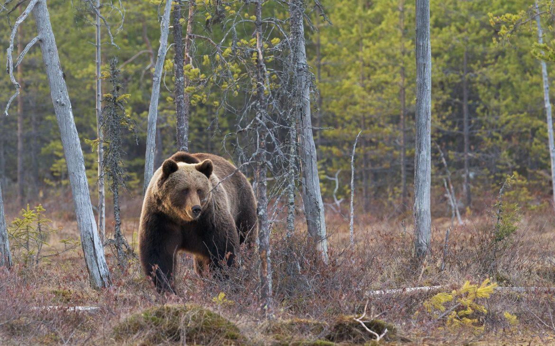 European Brown Bear in the woods.