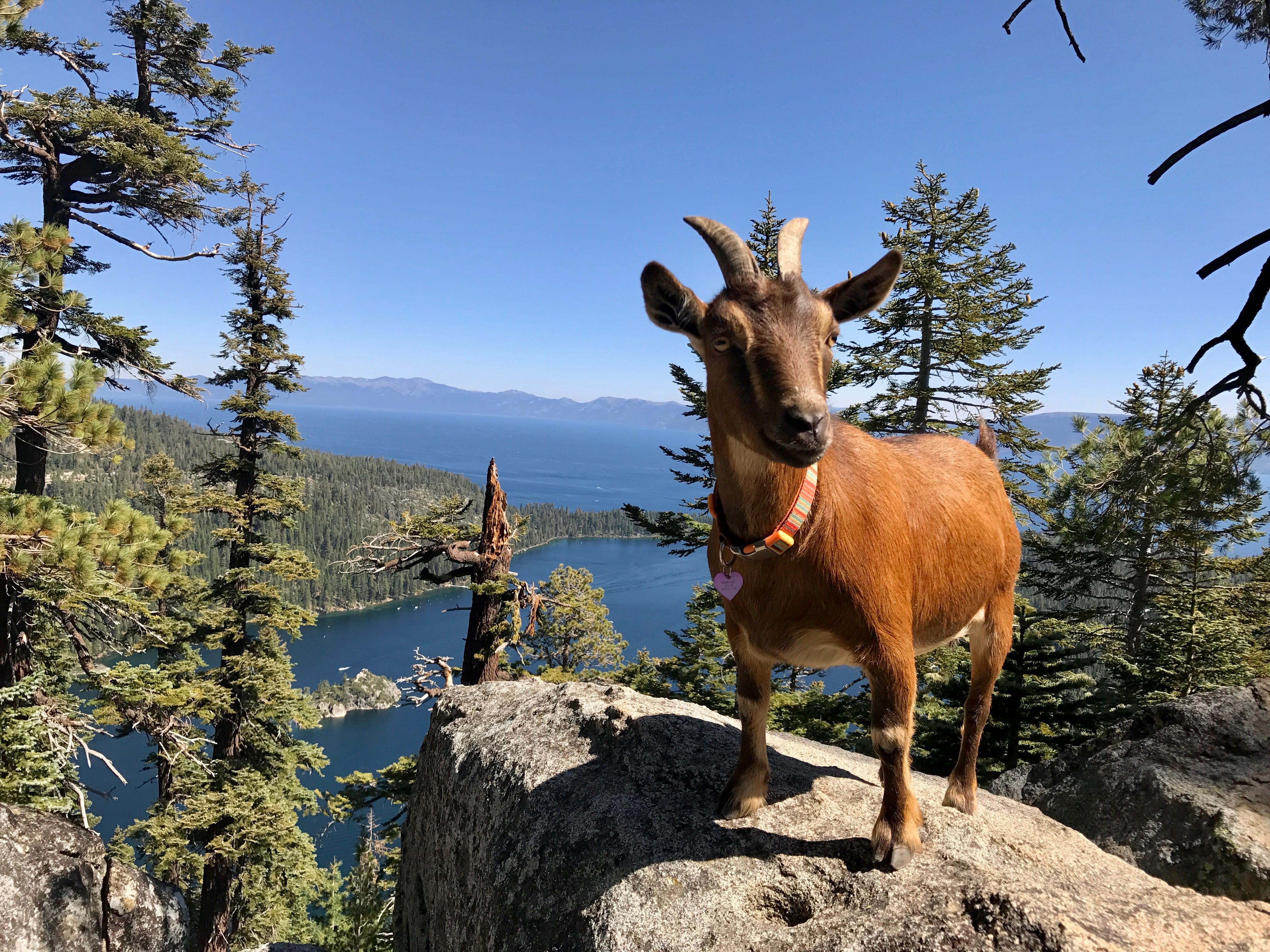 A goat stands on a viewpoint overlooking a sprawling lake.