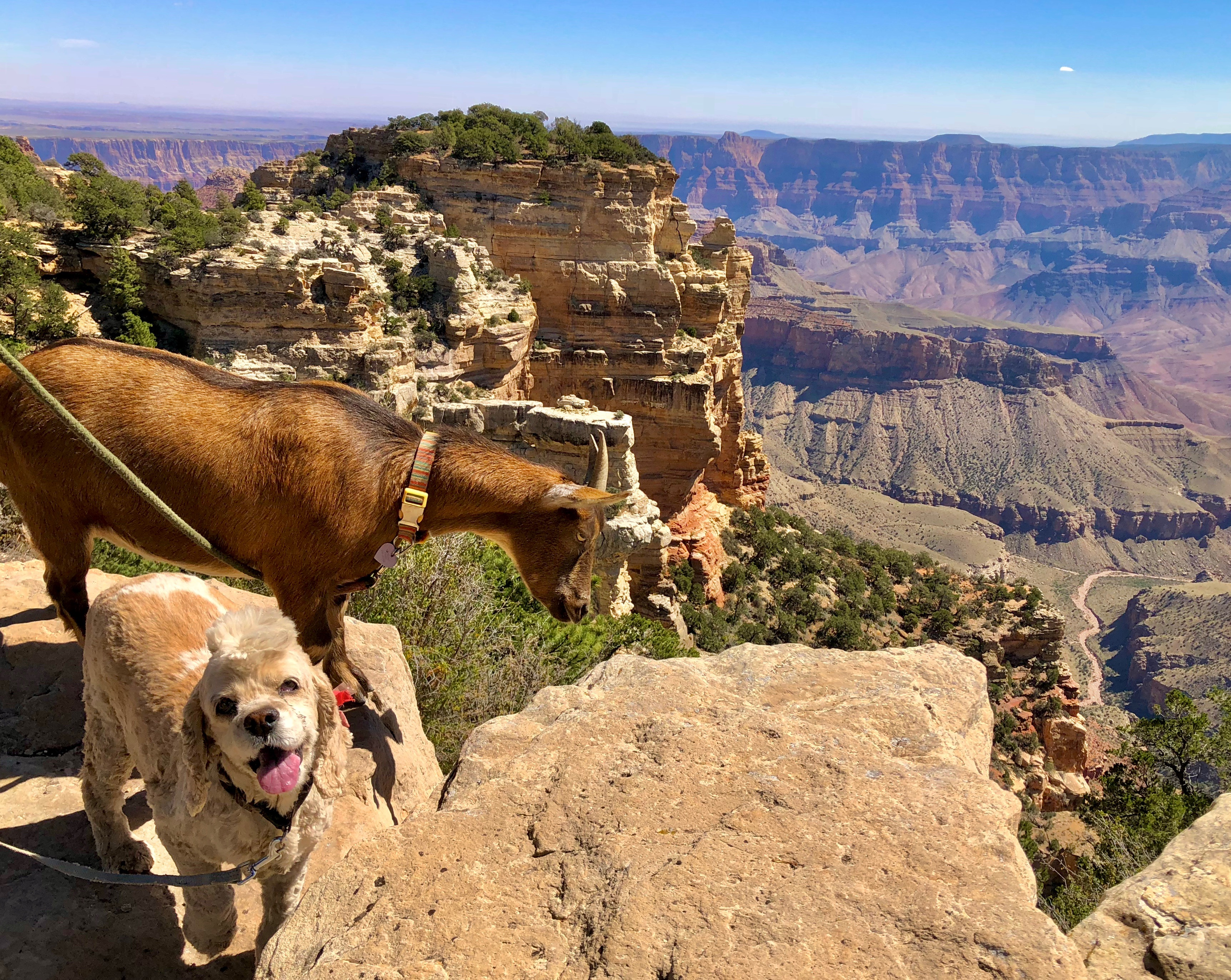 A dog and goat at the Grand Canyon