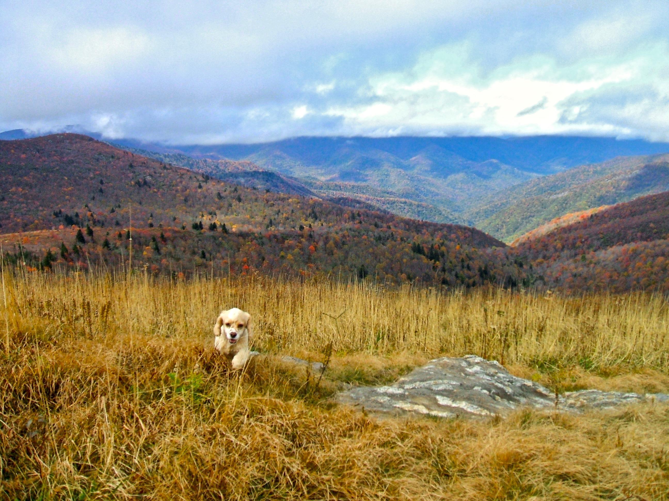 Dog bounding across tall grass on a ridge.