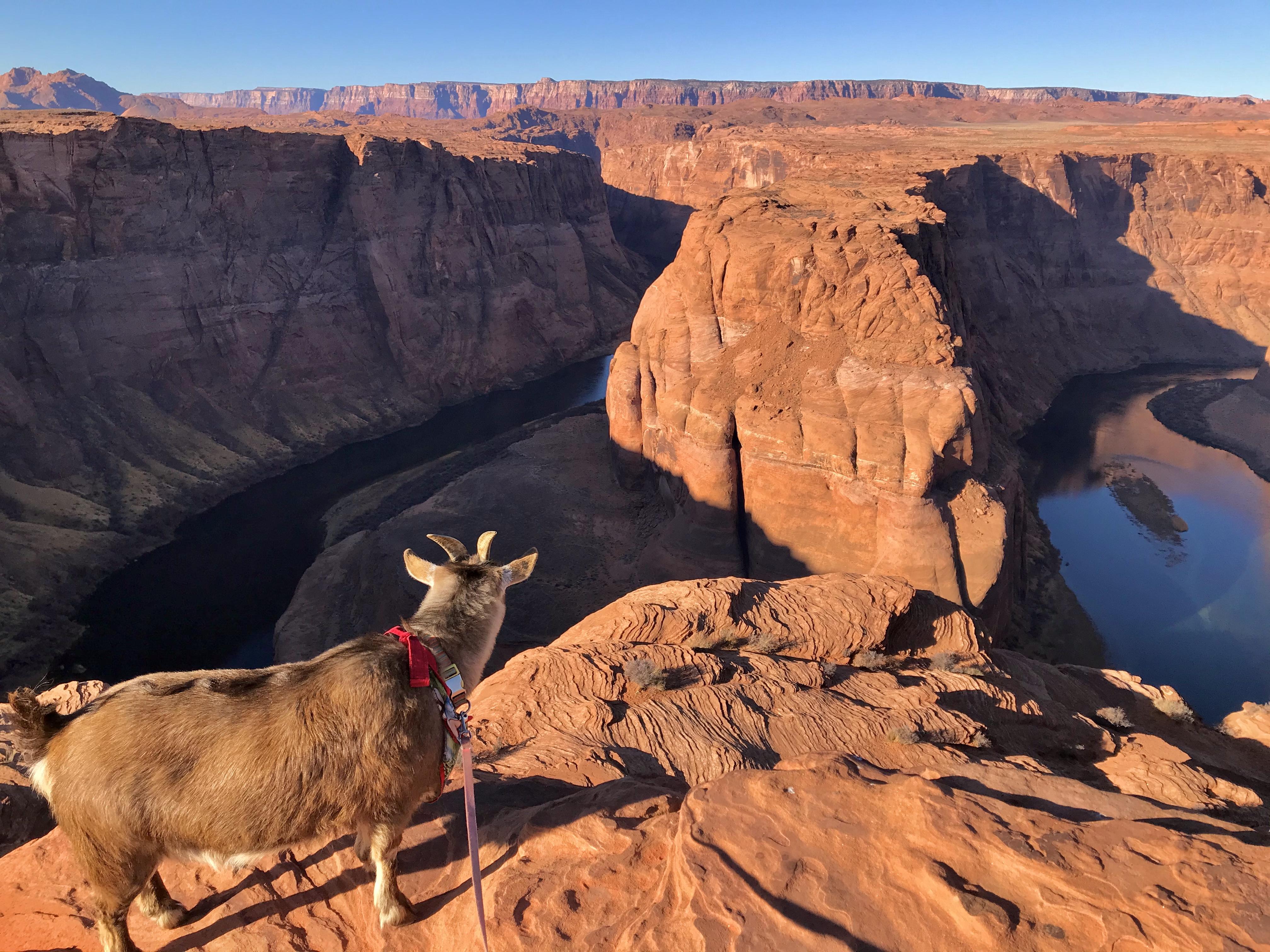Goat overlooks deep canyon