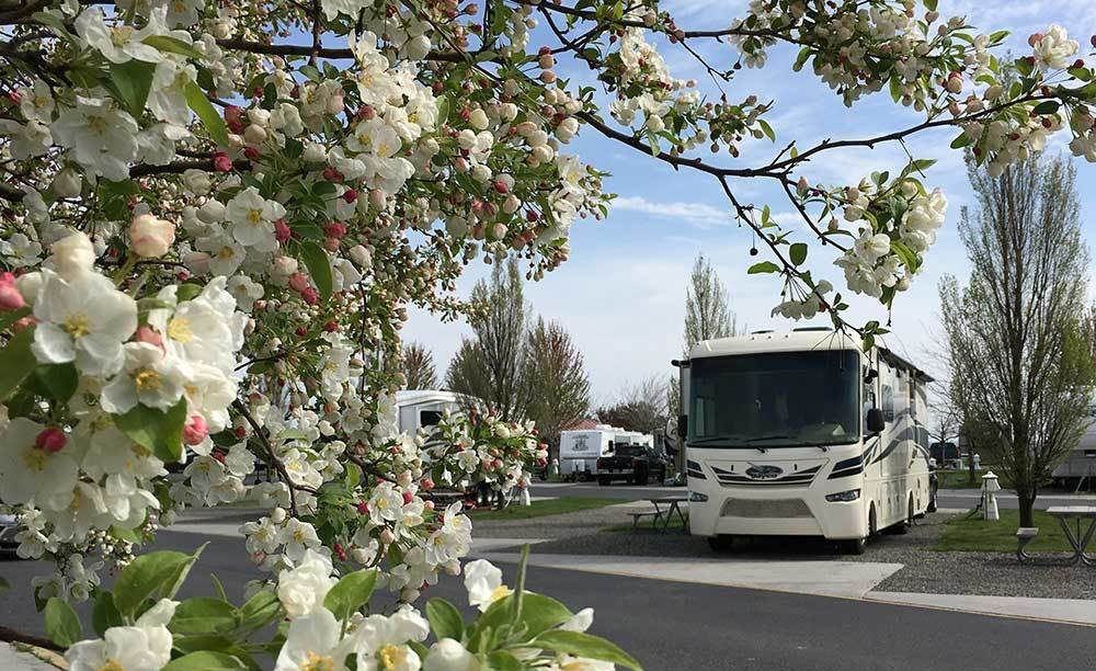 RVs parked amid flowering cherry blossoms