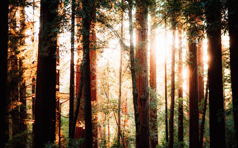 Woods with sunlight shining through at Big Basin, California.