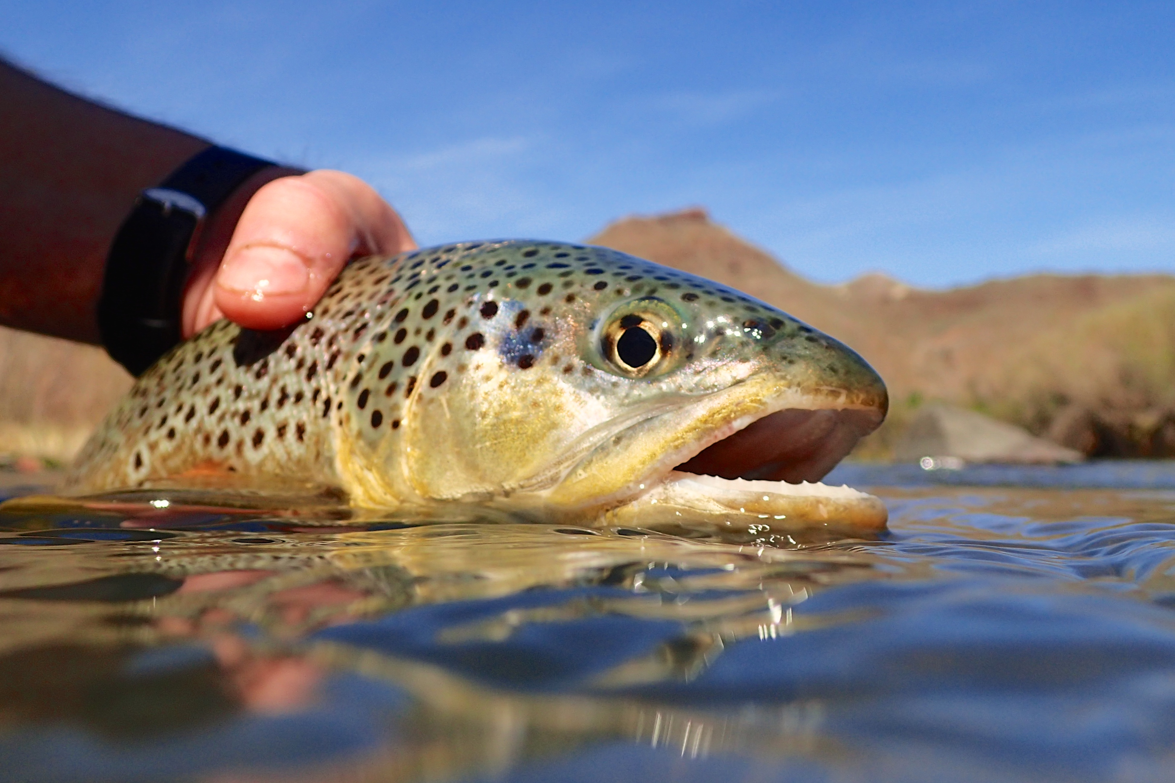 A man grips a huge brown trout