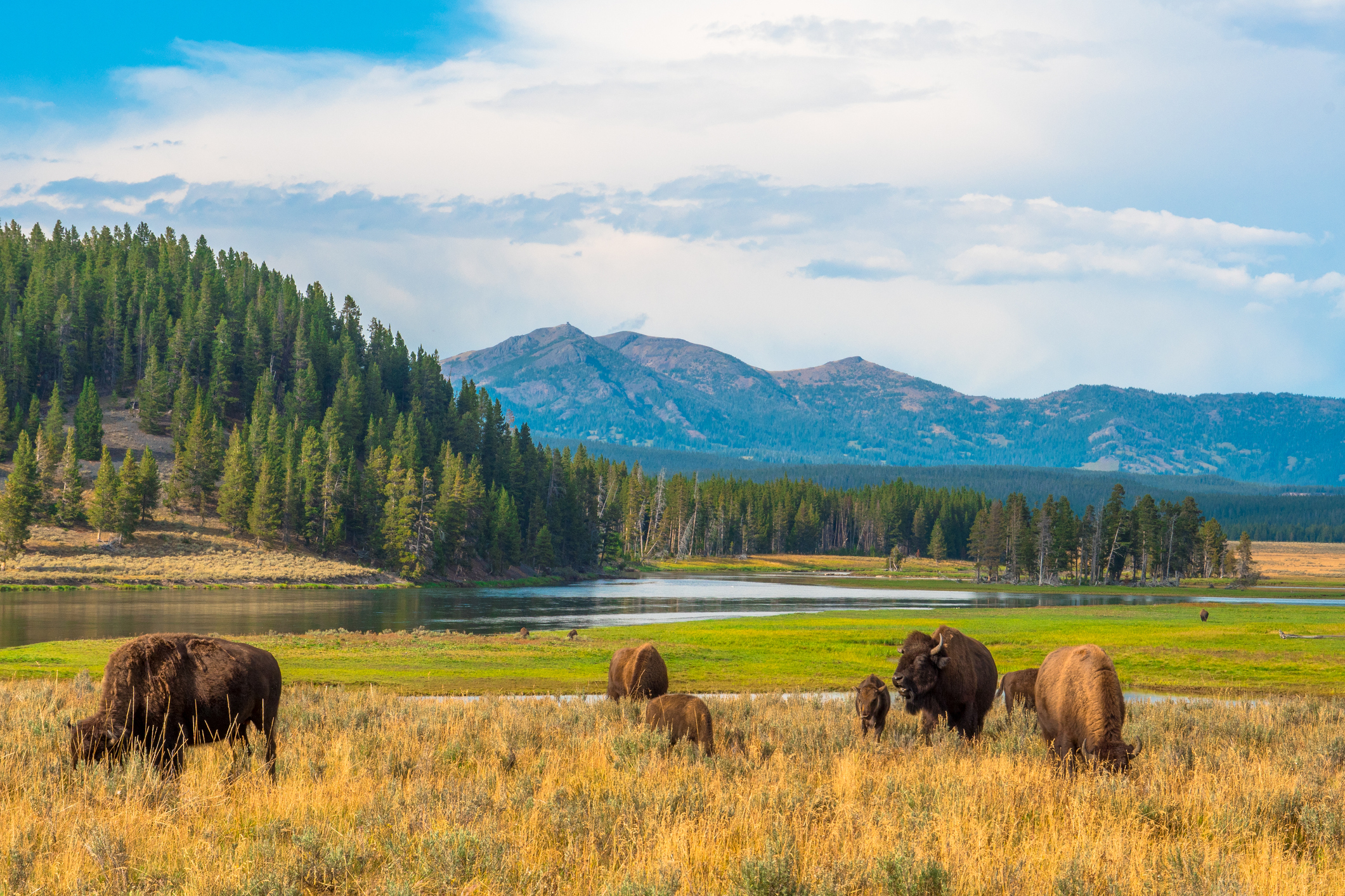 Western Wyoming itinerary —Buffalos graze on a grass meadow as forested mountains loom in distance.