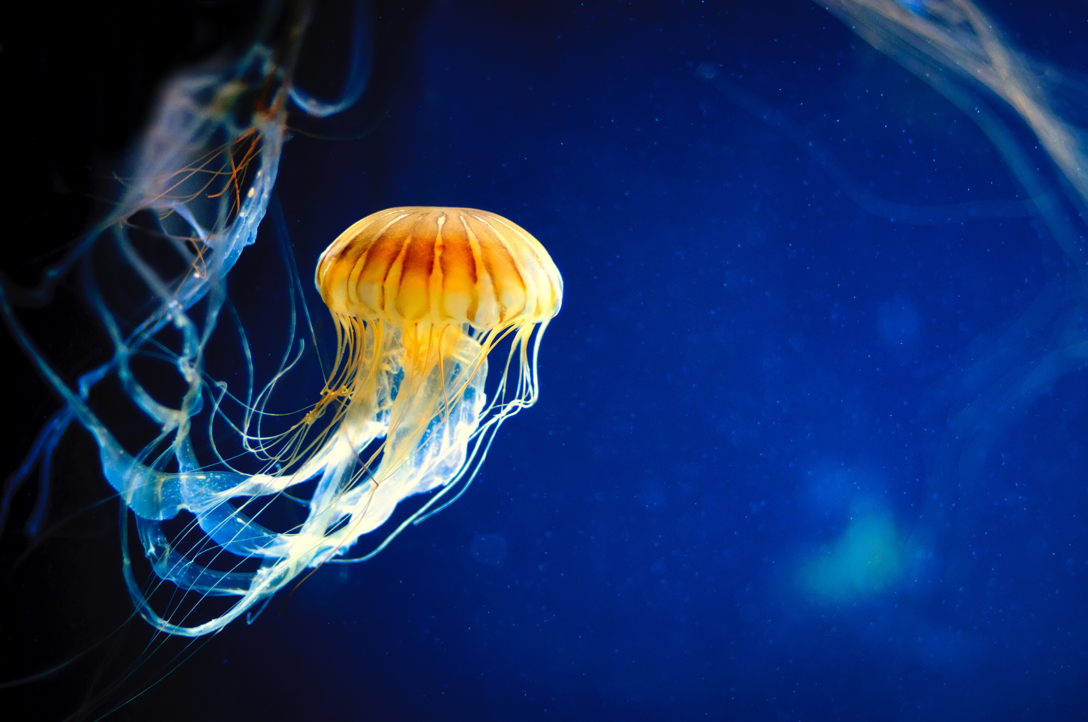 A jellyfish swims in a deep blue sea.