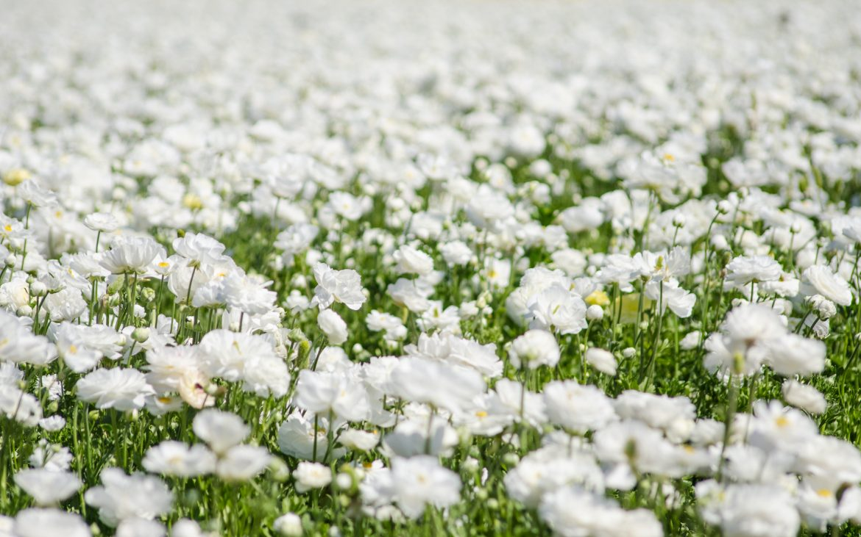 White flowers in Carlsbad flower field.