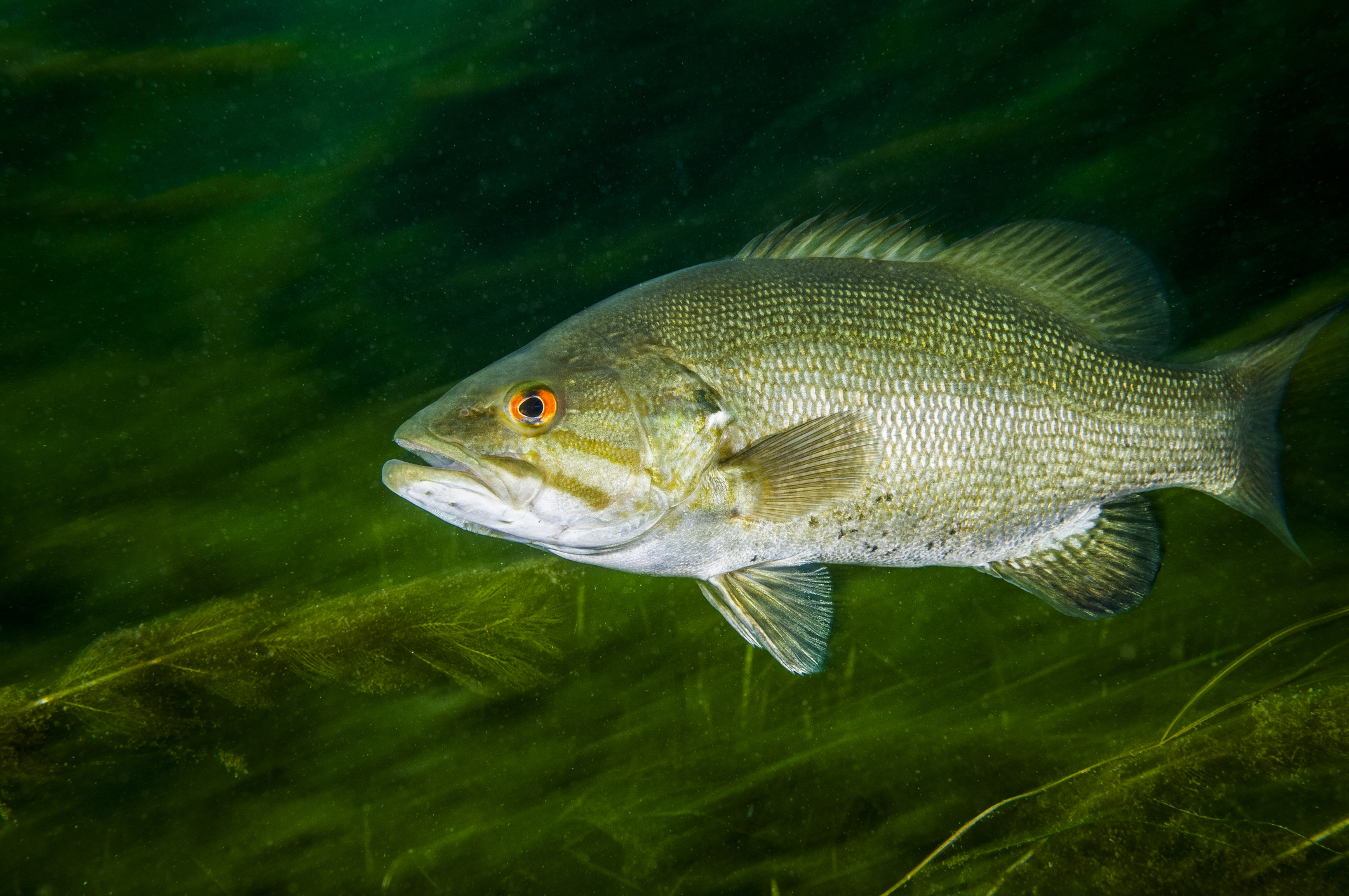 A fish navigating a grassy riverbed in murky green light.