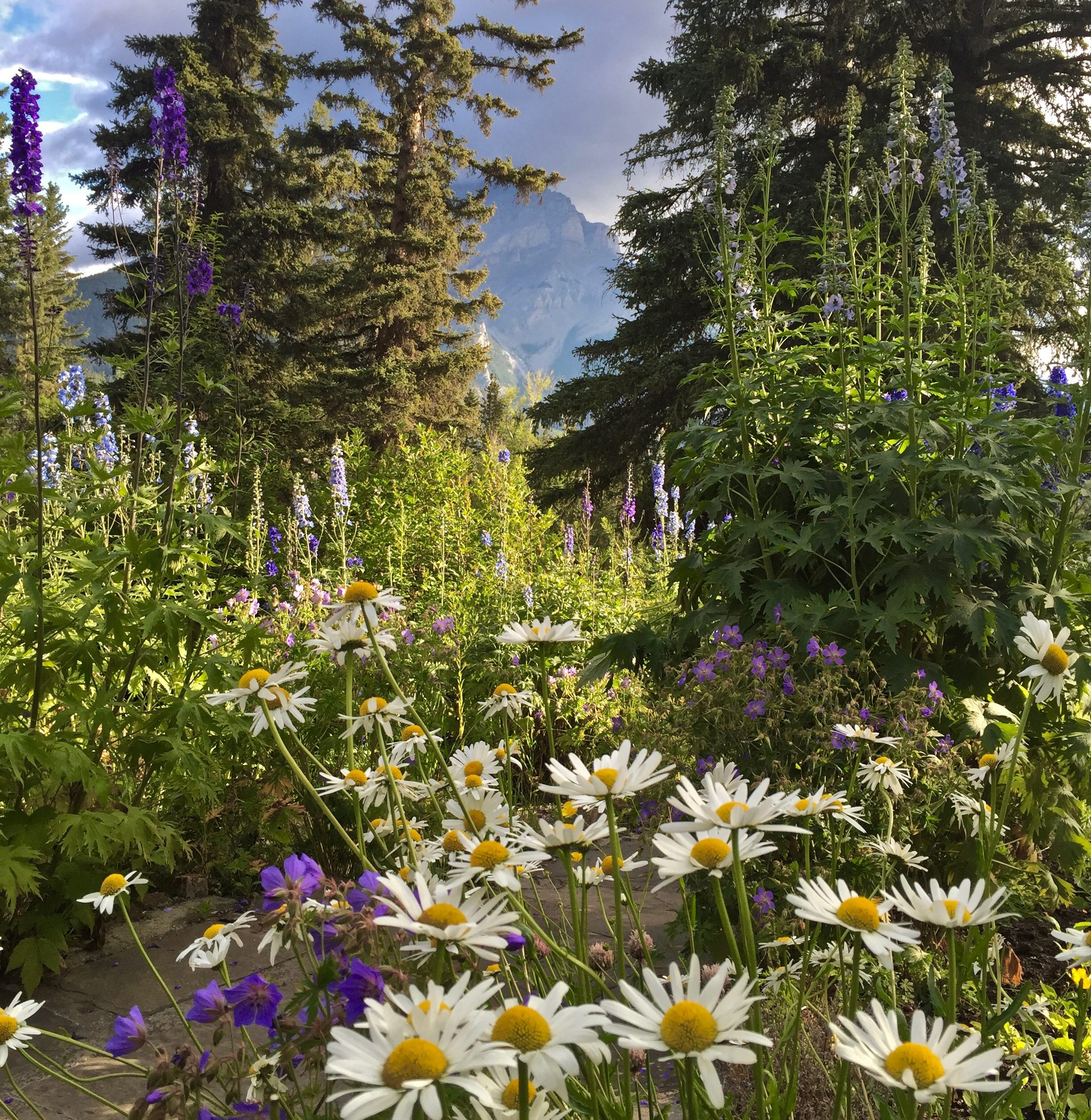 A garden teeming with daisies and other flowers against a background of pine trees and mountains.