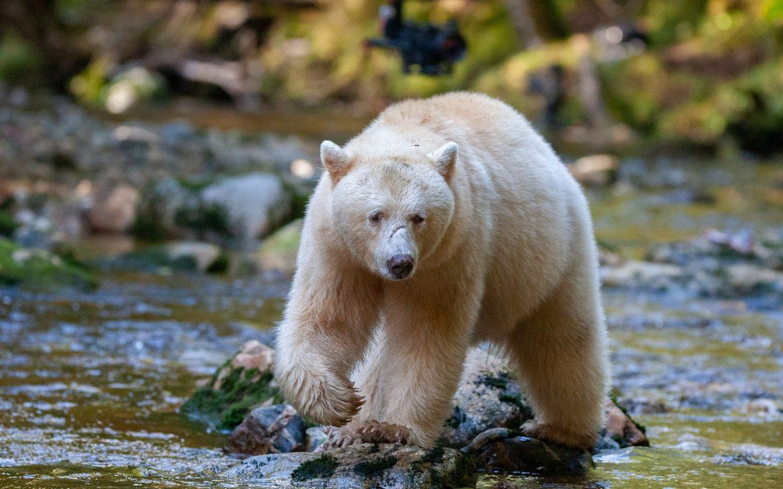 A spirit bear hunts for salmon in a creek in the Great Bear Rainforest