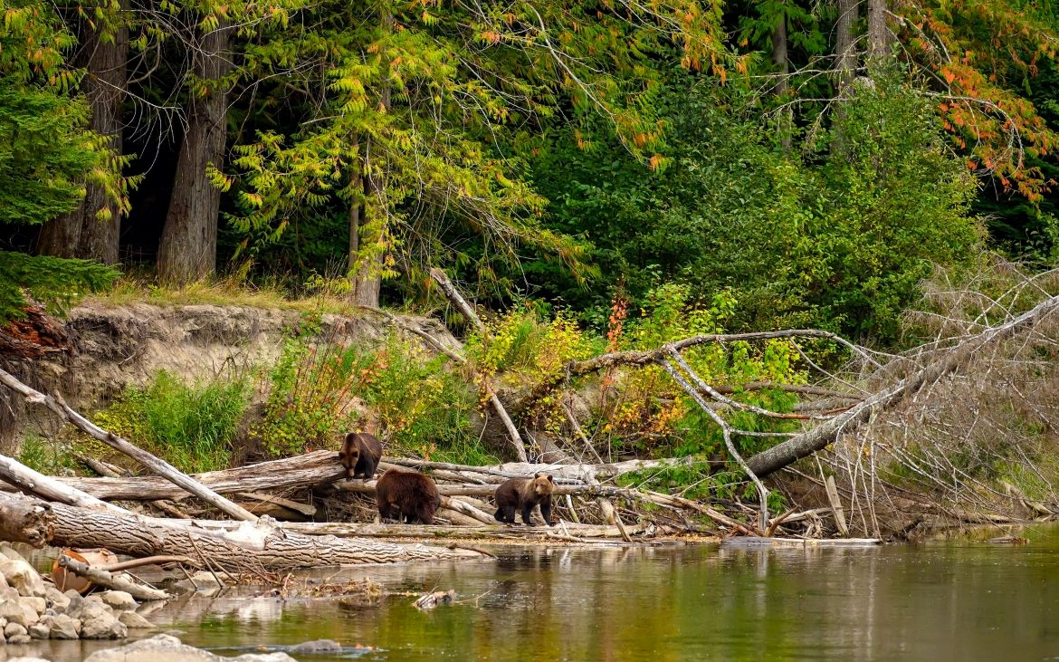 A grizzly bear wading into the Atnarko River in search of spawning salmon in coastal British Columbia