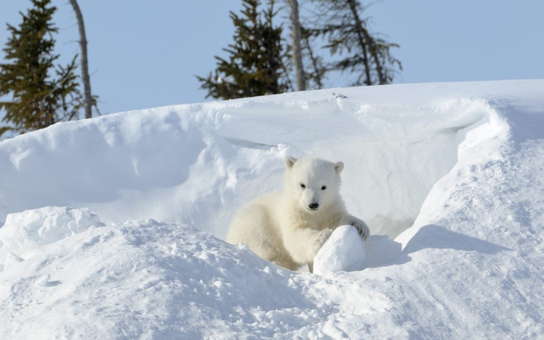 Polar bear (Ursus maritimus) cub coming out den and playing around, Wapusk national park