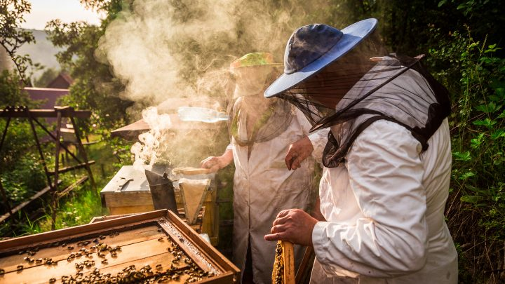 A beekeeper in protective gear tends to a buzzing hive.