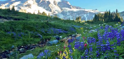 Majestic snow-capped mountain looms over slopes covered in blue and yellow wildflowers.