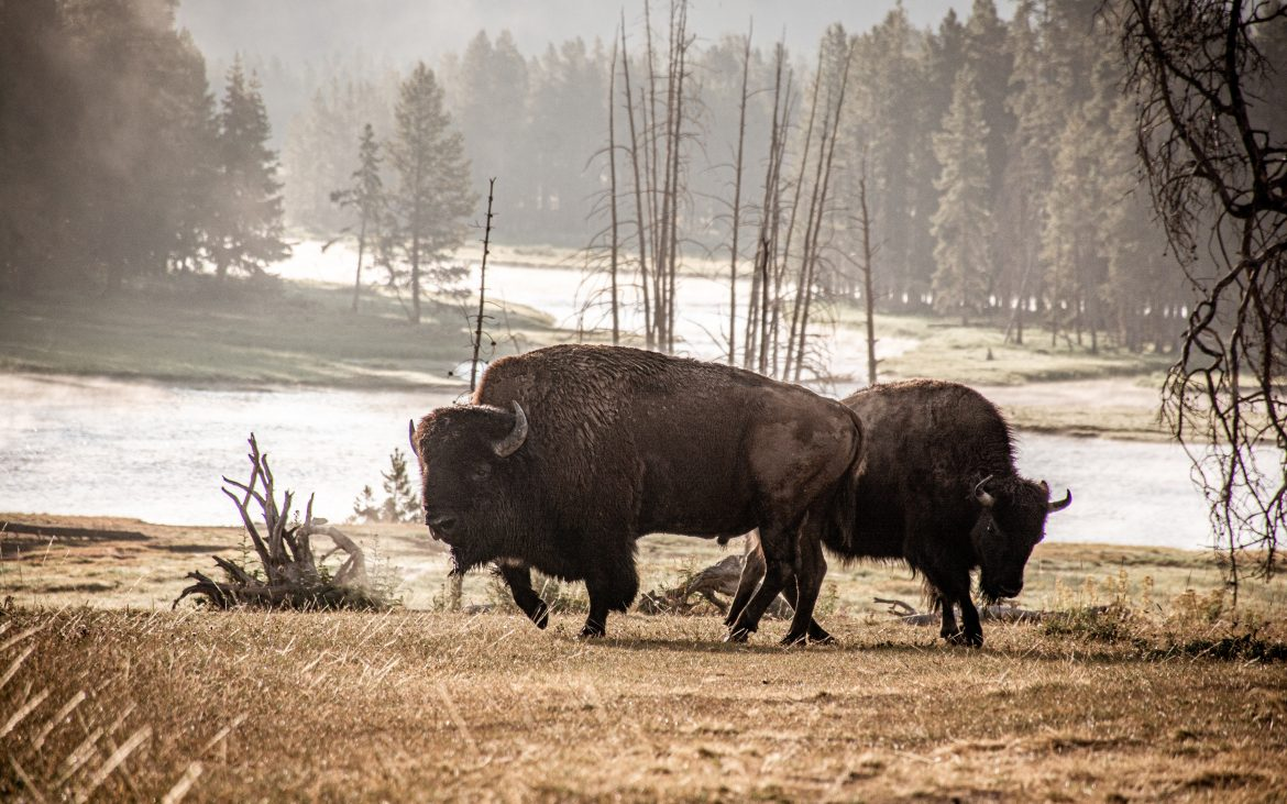 Bison at Yellowstone
