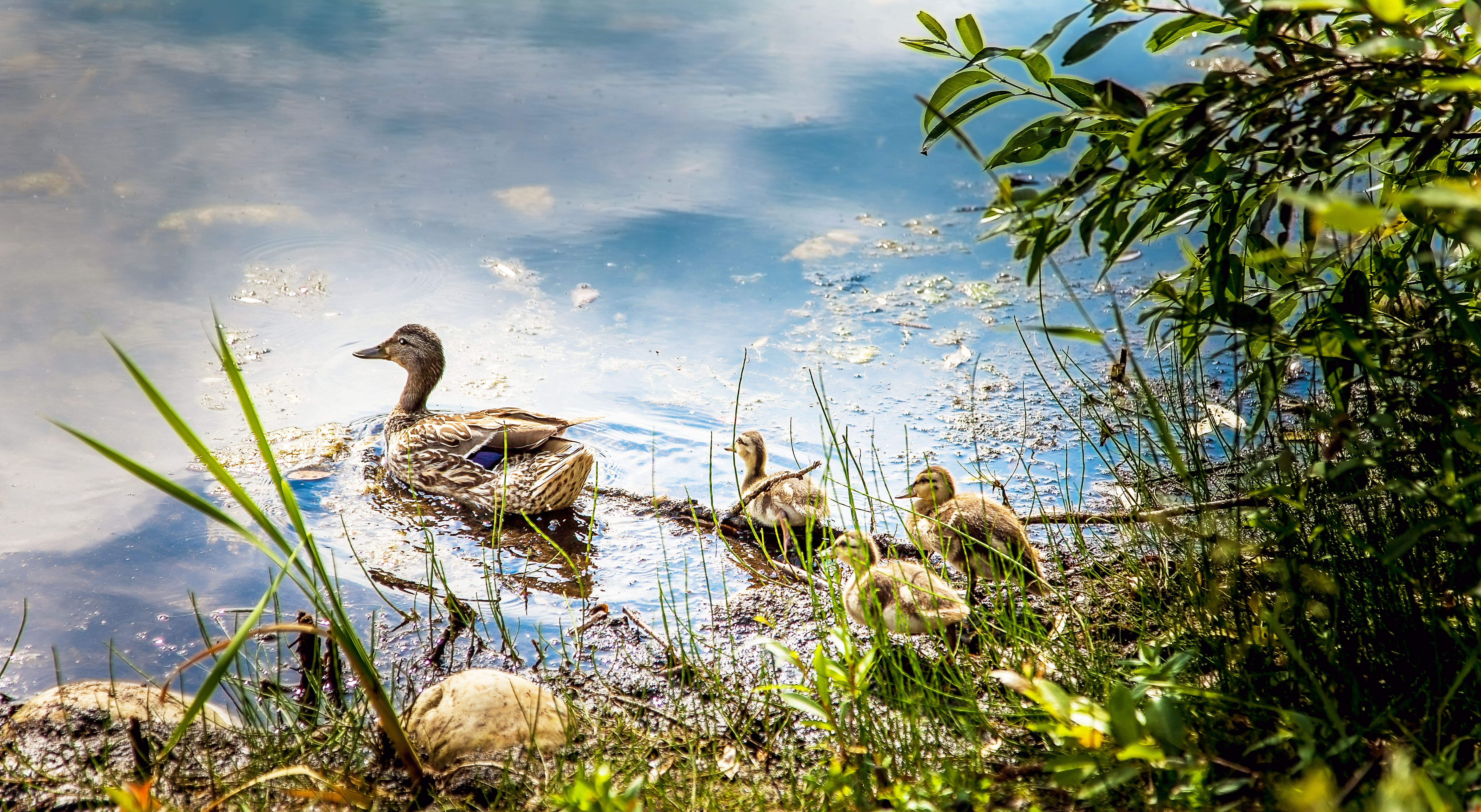 A mother duck leads two ducklings across a pond reflecting the sky.