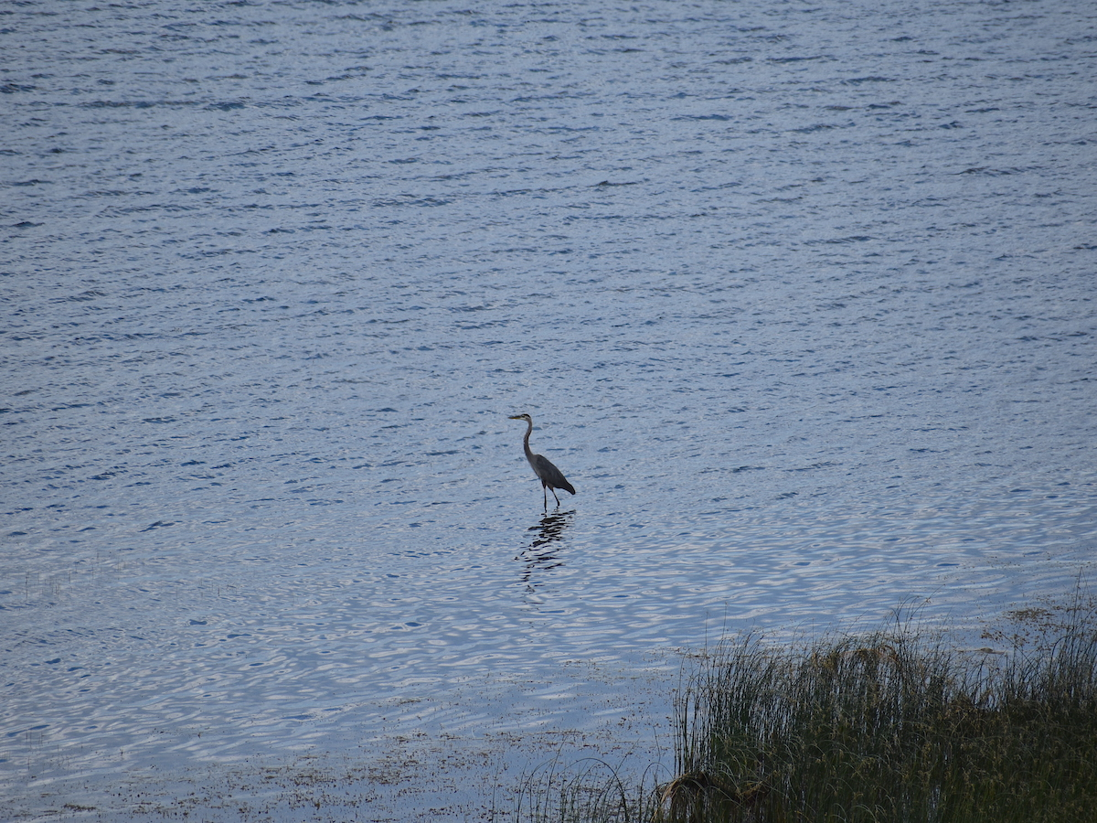 A heron wading in the shallows of a lake.