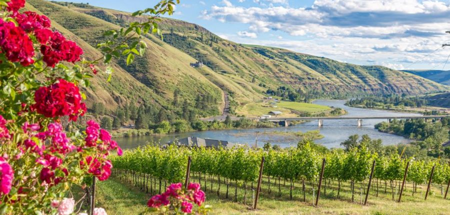 A thriving vineyard against a backdrop of a green ridge.