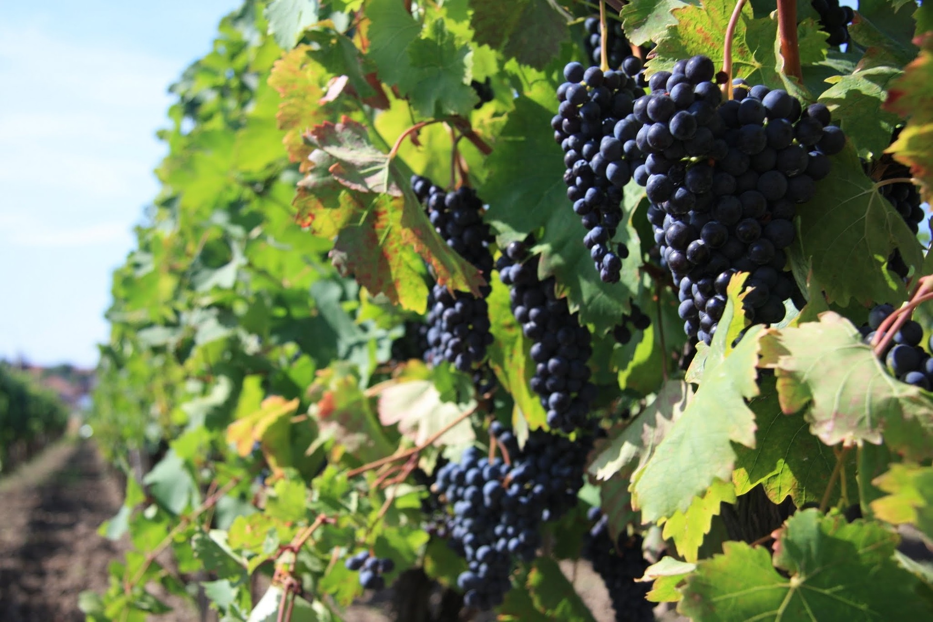 Dark purple grapes ripening on the vine.