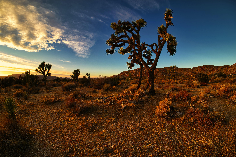 Joshua trees cut stark figures on a desert landscape at dusk.