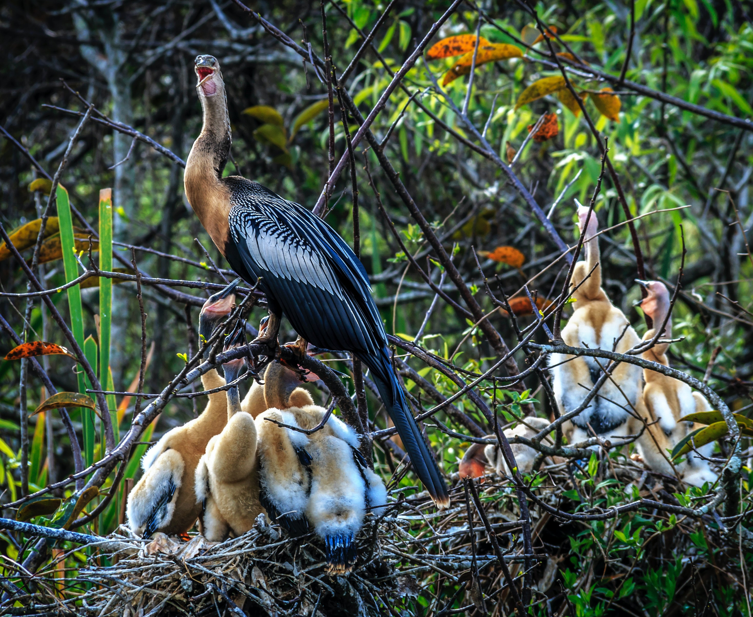 A bird with its brood in a tropical nest.