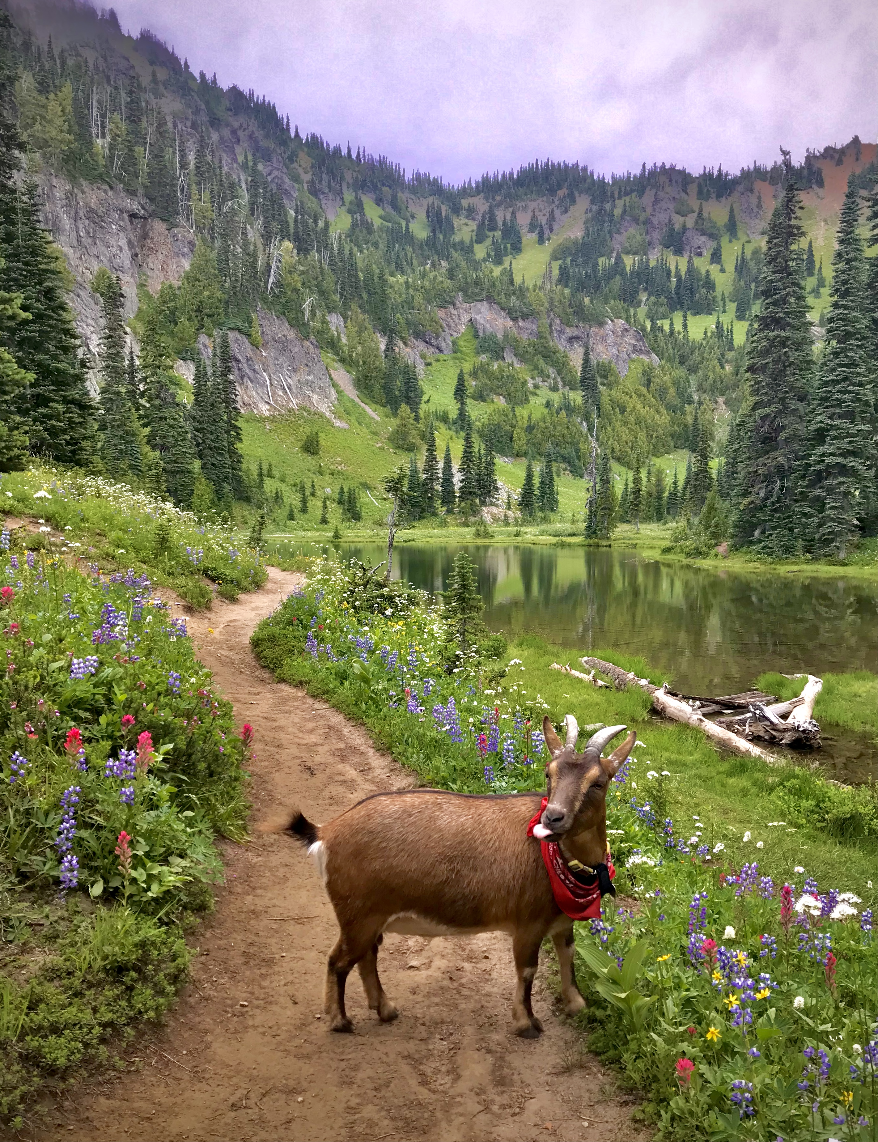 A goat on a lakeside trail.