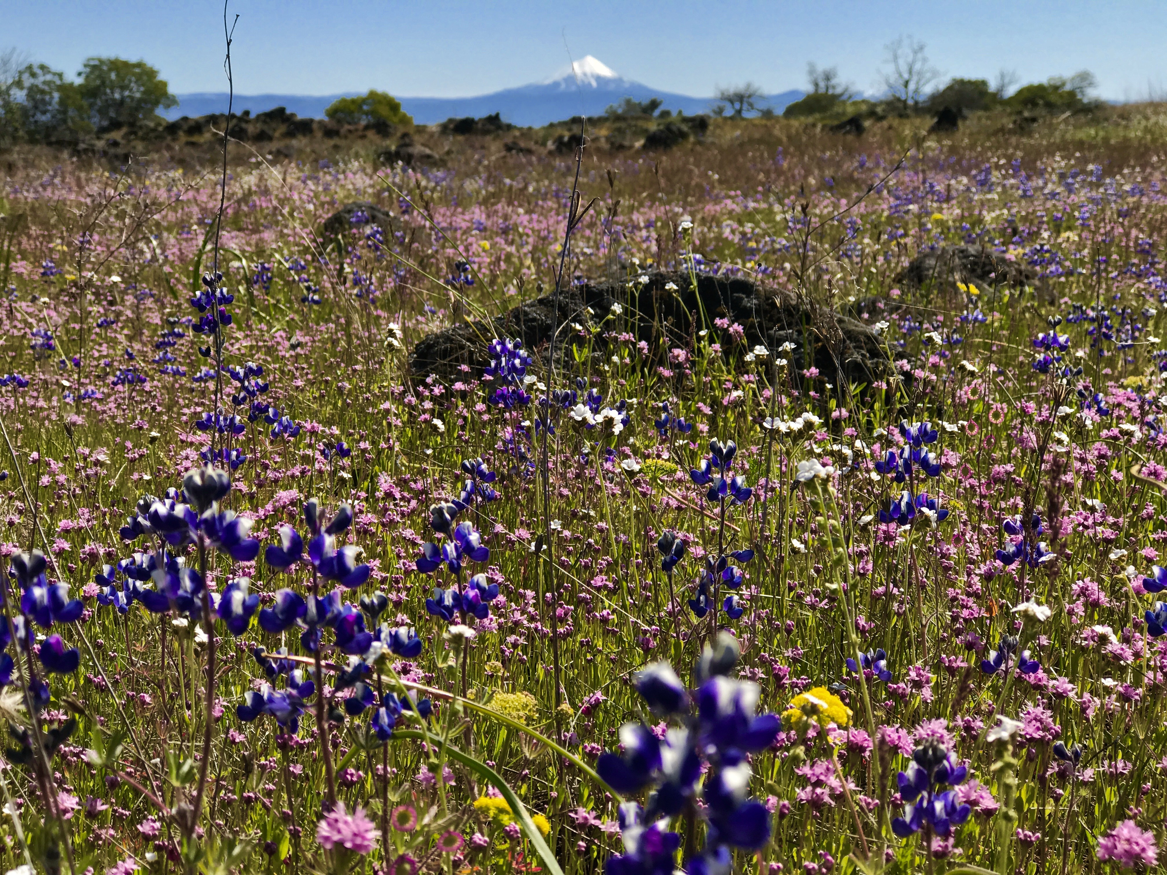A field covered with blue blossoms with a mountain looming in the background.