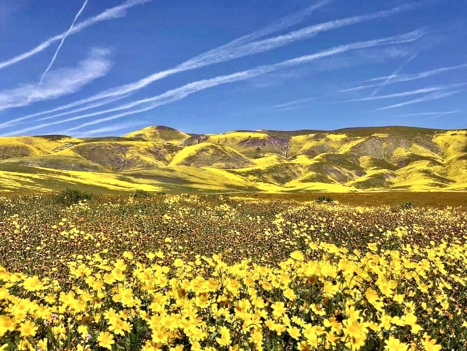 Yellow wildflowers cover a field and low hills on the horizon.