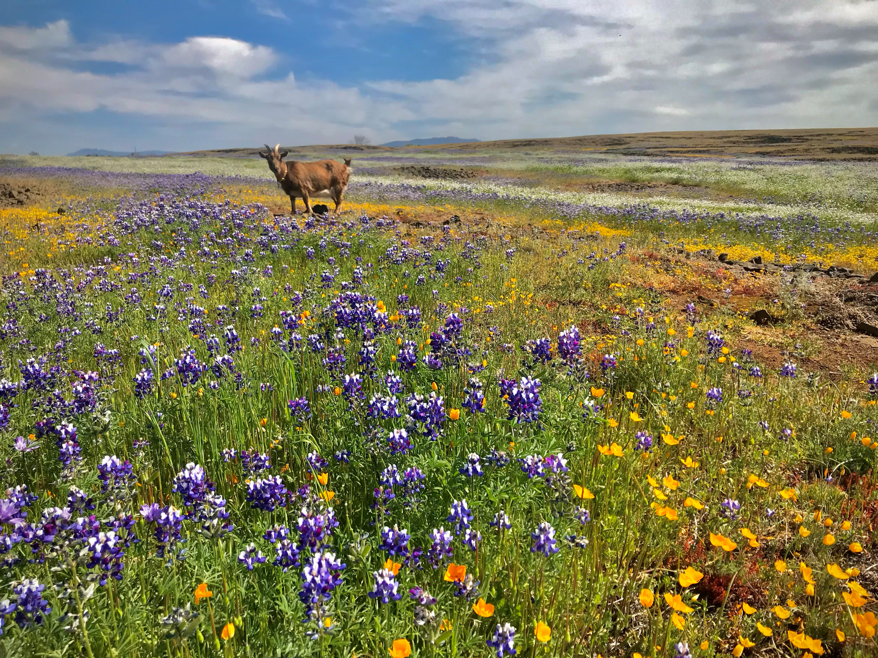 A goat stands amid a sea of wildflowers.