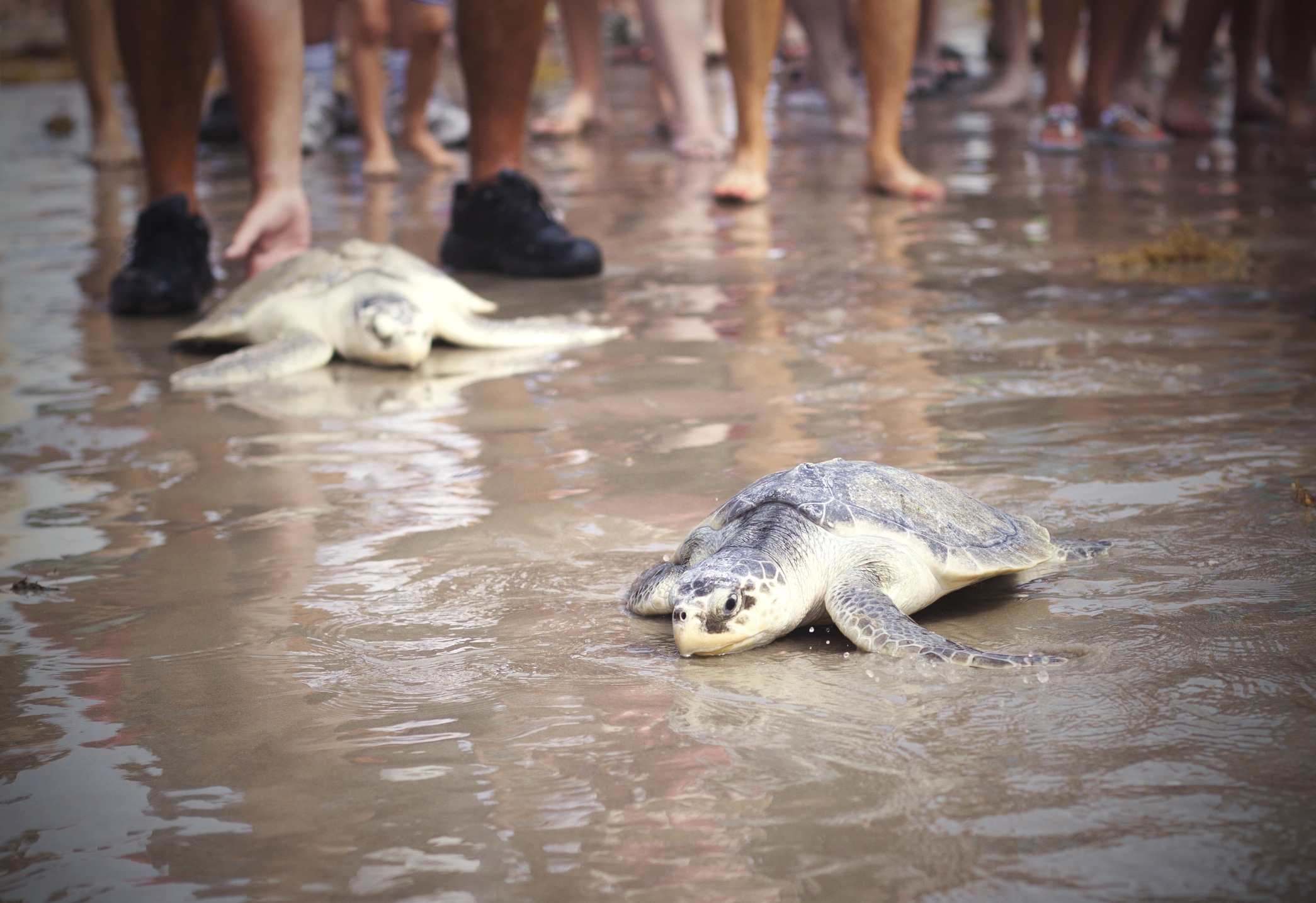 People rescuring turtles on the beach.