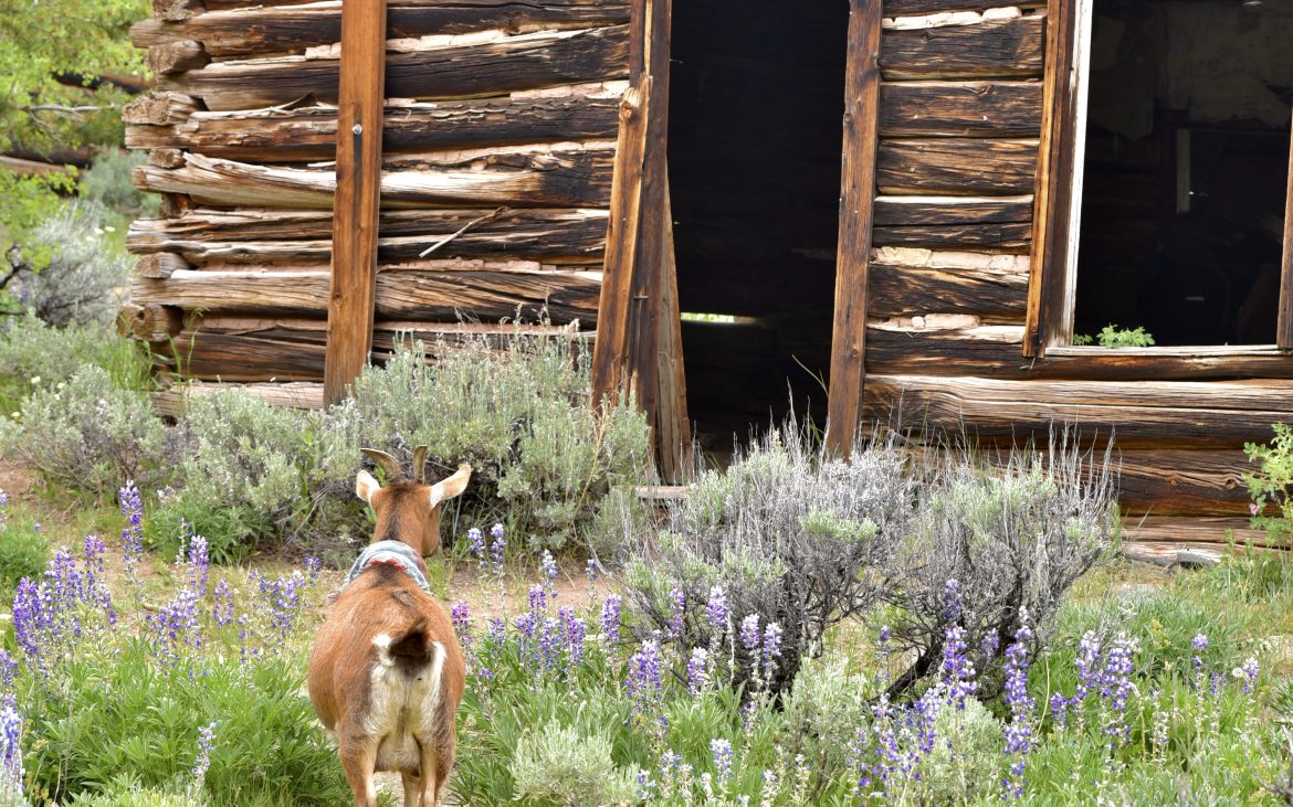 Lupine covers the land that surrounds Miner's Delight in June.