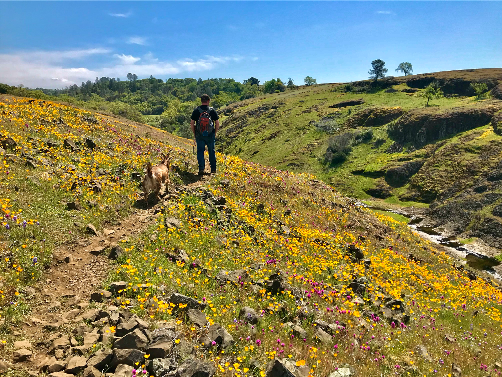 A hiker and pet goat walk along a trail cut into the side of a ridge.