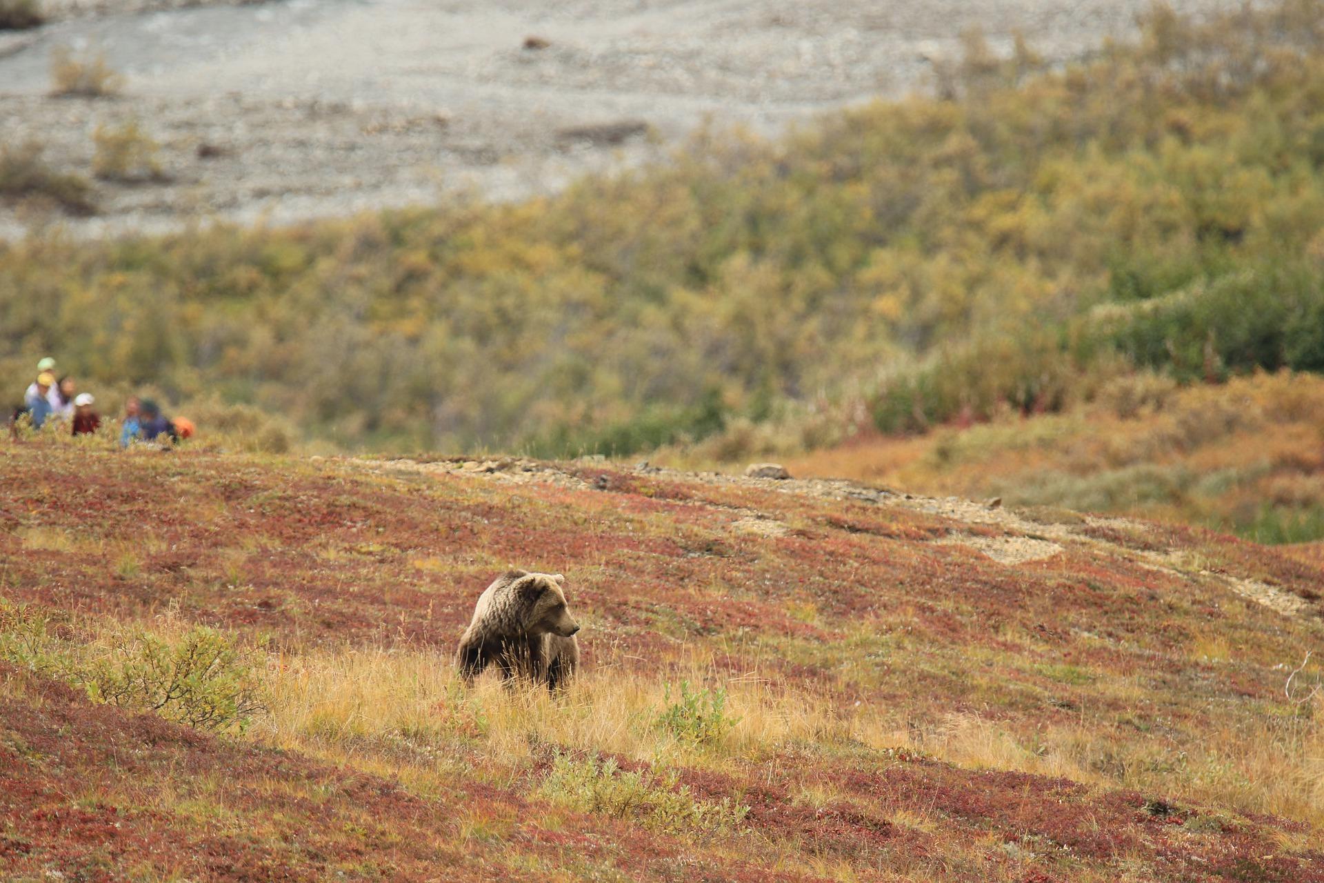 A bear walks along a ridge as photographers observe from a safe distance.