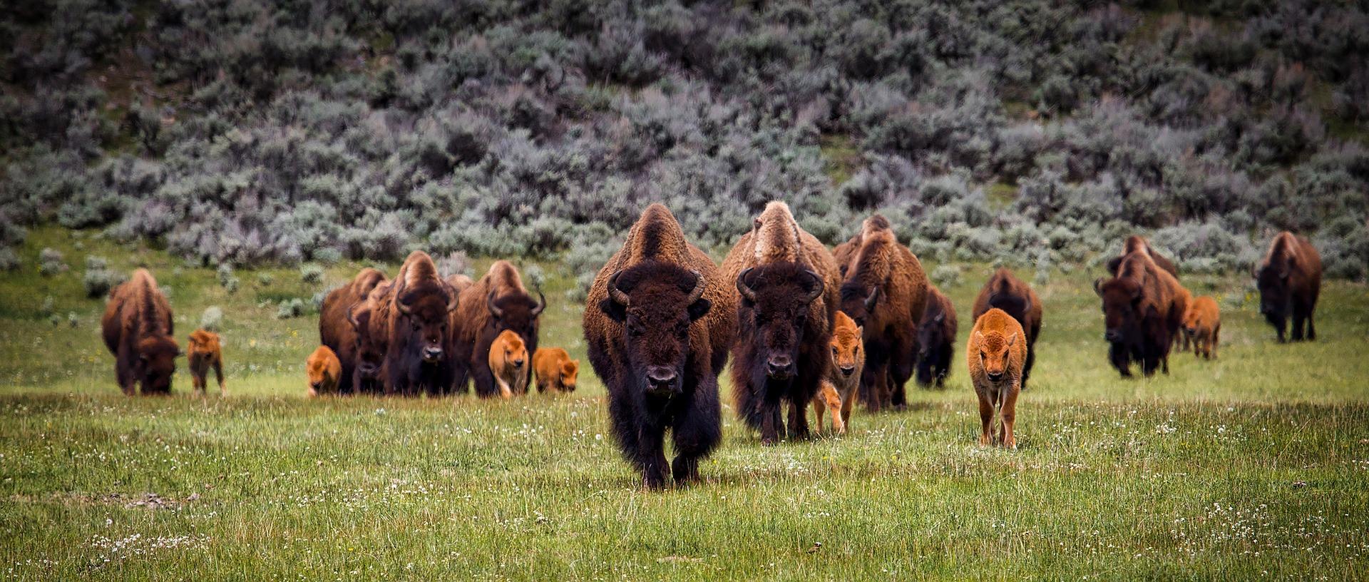 A herd of buffalo approaching the camera.