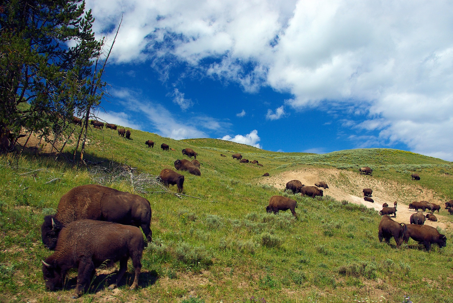 Buffalo grazing on a hillside.