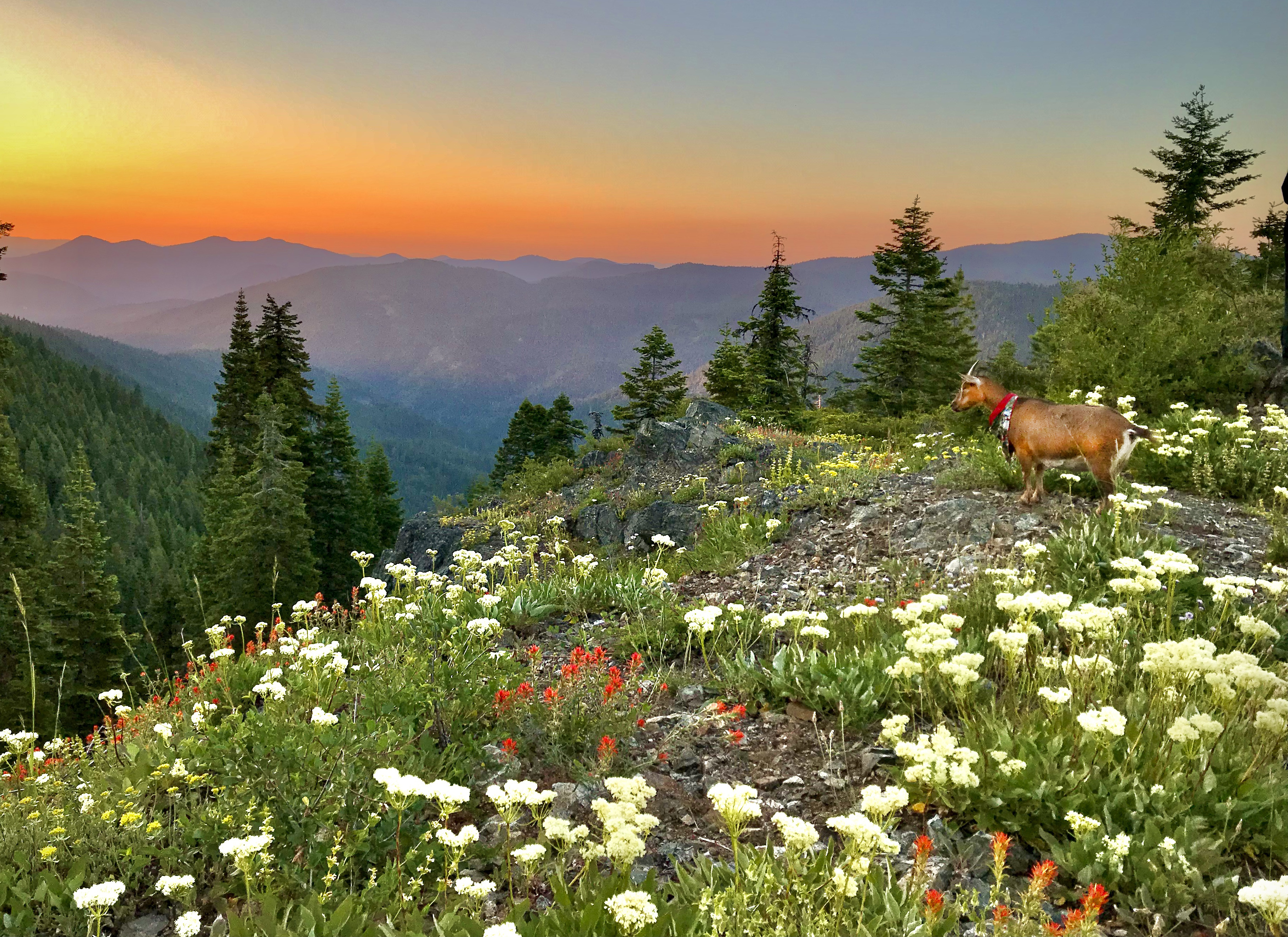 standing atop a ride, a goat looks out over a sea of flowers.