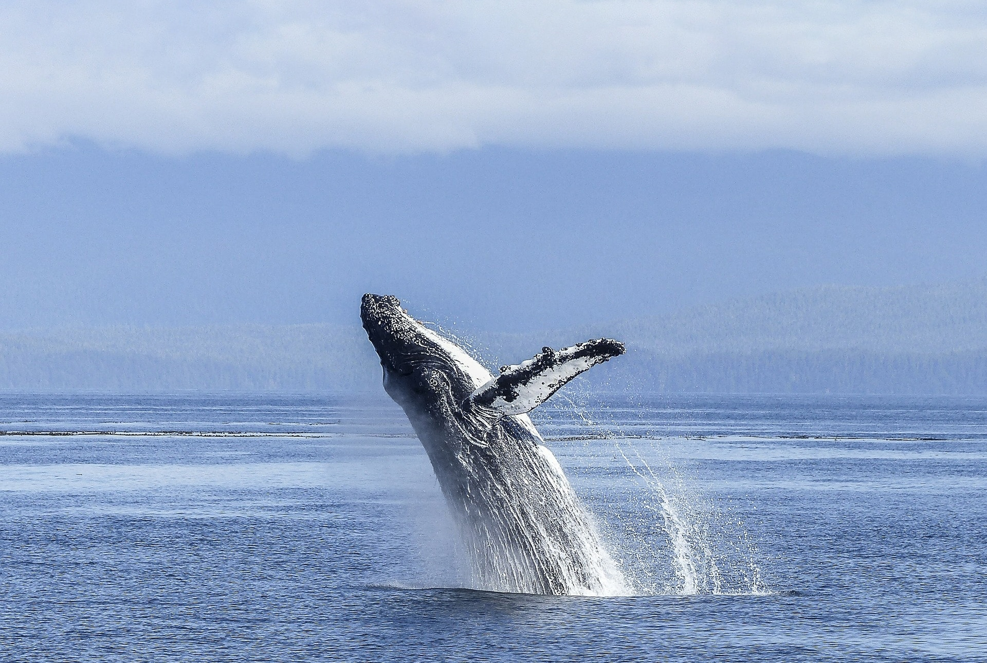 Ecotourism Adventure —A humpback whale explodes out of the water with coast in the background.