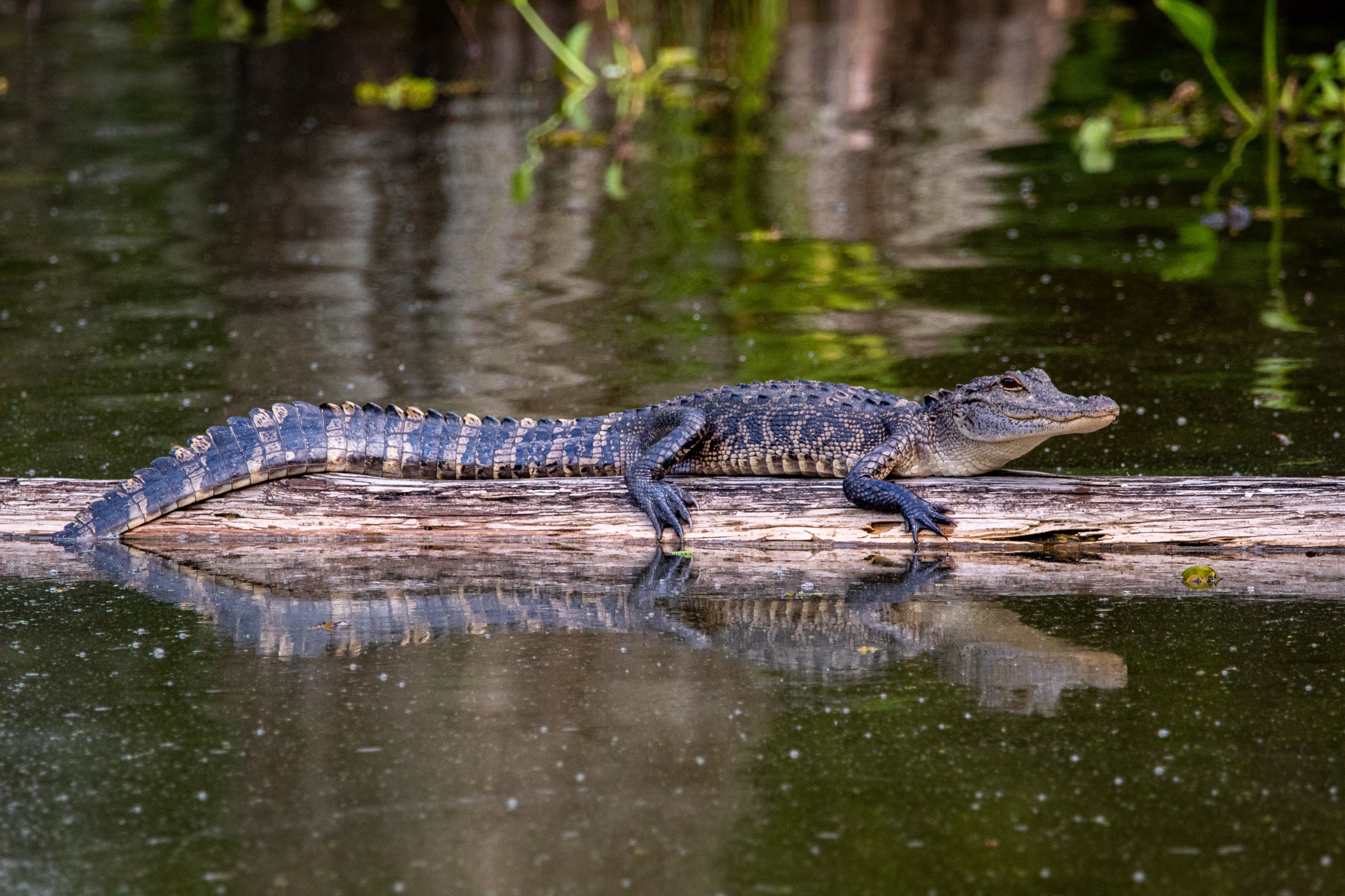 A gator basking on a floating log.