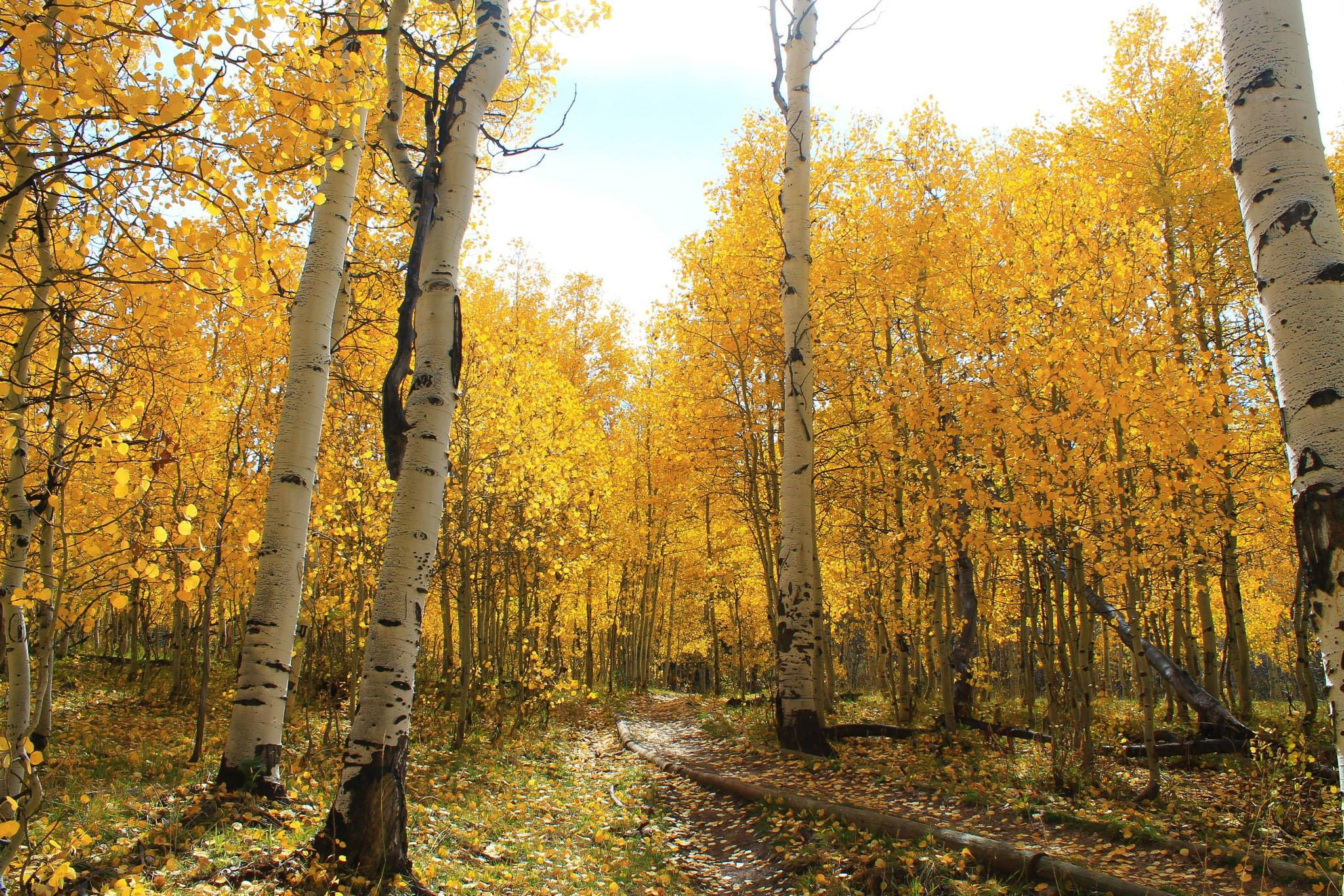 A thick grove of aspen trees.
