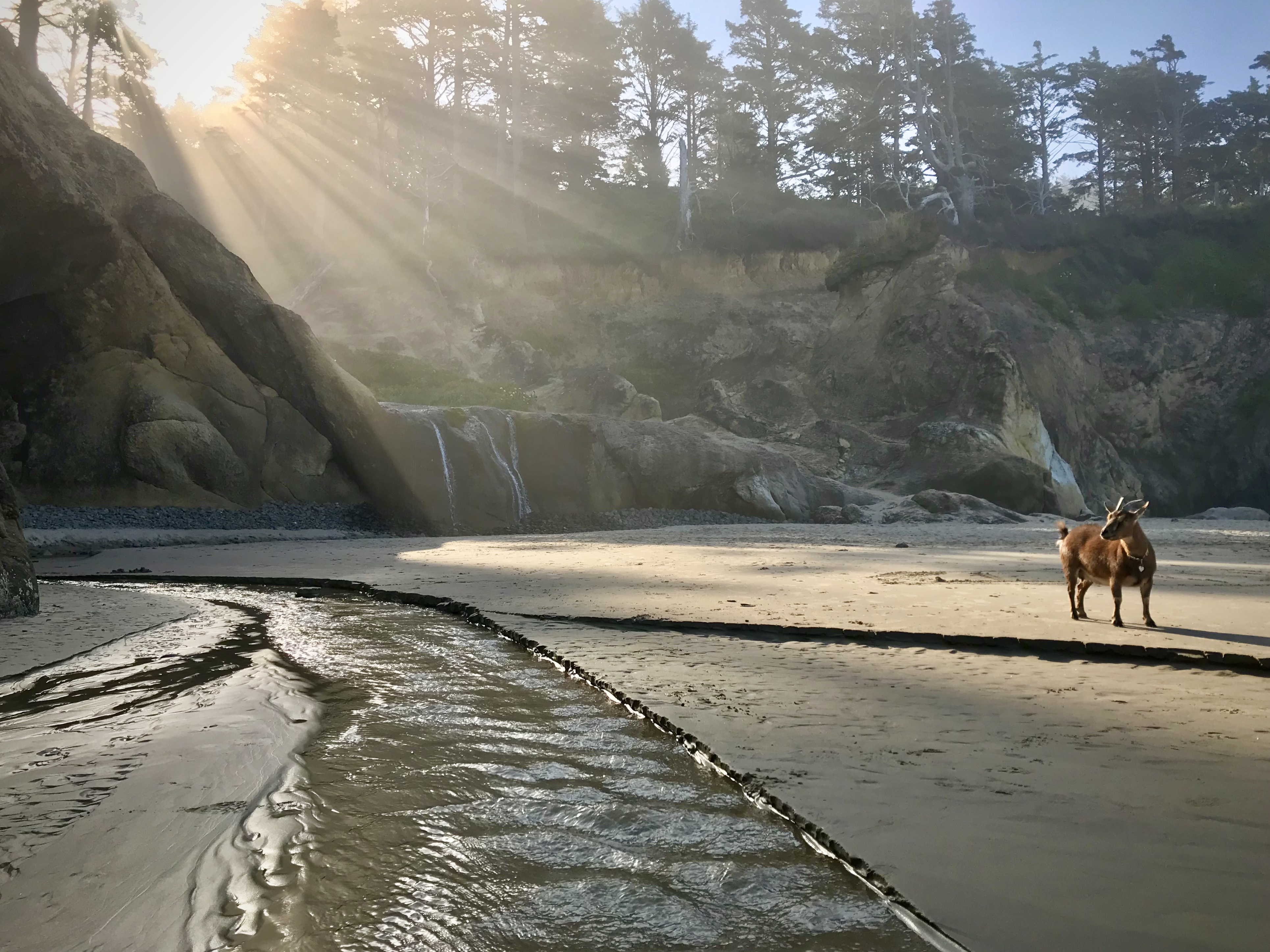 A lone goat stands on a beach as sun rays splash on the sand.