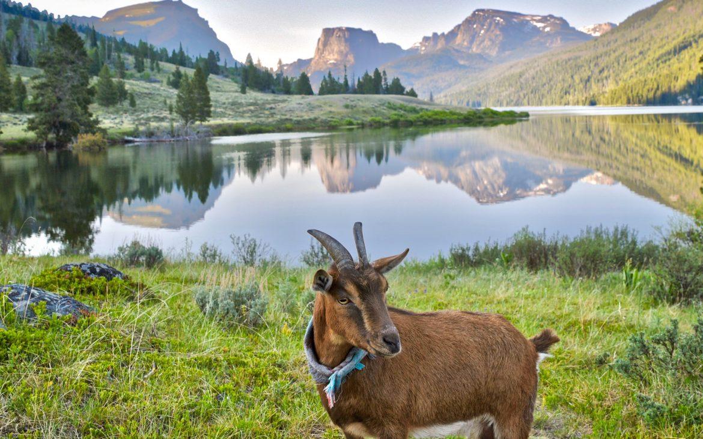 Goat posing at Square Top at Green River Lakes